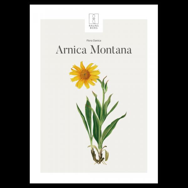 Kunstplakat Arnica Montana / Guldblomme 50X70